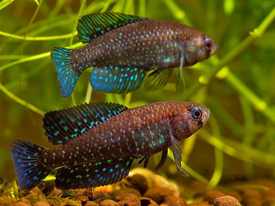 Killifish: Austrolebias periodicus Las Cavas