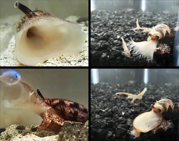 Molusco (Conus geographus) lança insulina na água para paralisar presa por hipoglicemia