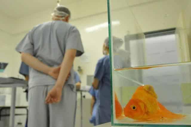 Peixe passa por cirurgia no Hospital Veterinário da UPF