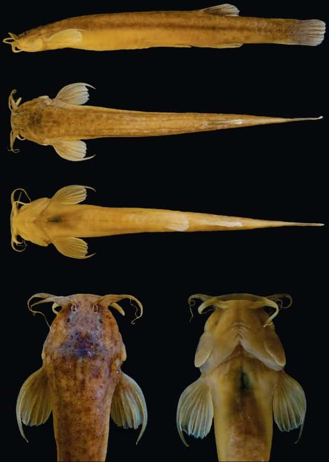Ituglanis boticariuo - Rizzato e Bichuette 2014