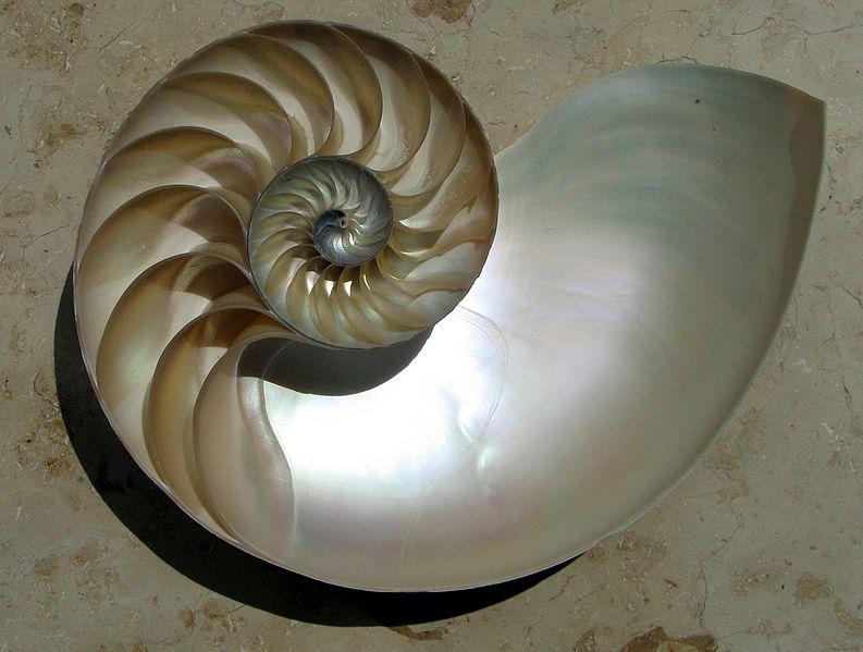 concha Nautilus pompilius