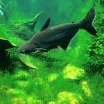 Pangasius hypophthalmus • O peixe Pangasius deve voltar a mesa do consumidor
