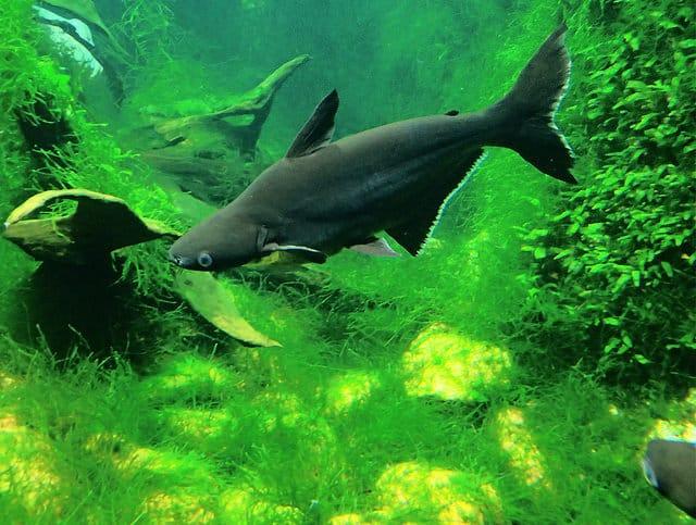 O peixe Pangasius deve voltar a mesa do consumidor Pangasius-hypophthalmus