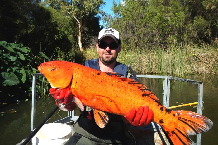 Peixes ornamentais invadem a Austrália