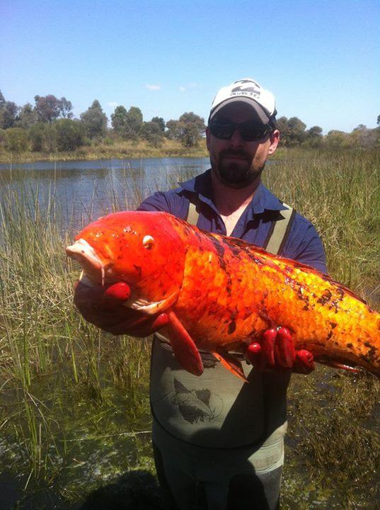 Peixes ornamentais invasores