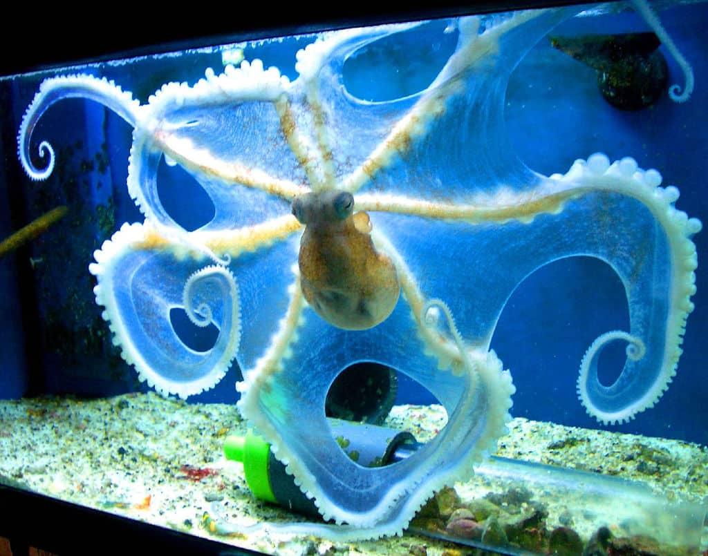 Polvo no aquário
