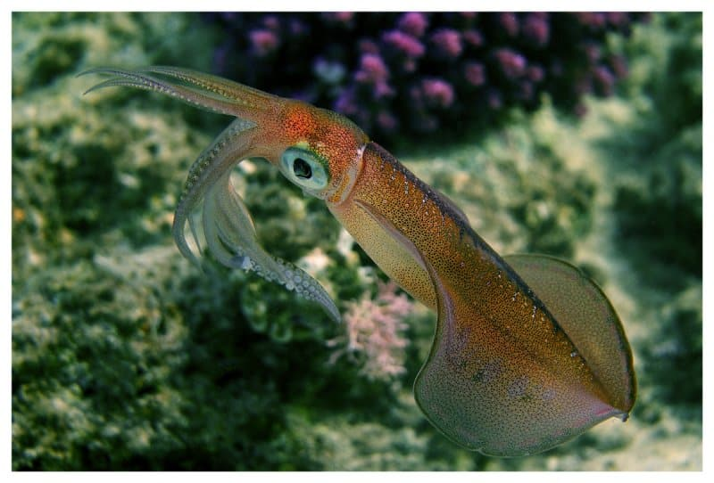Squid Teuthida