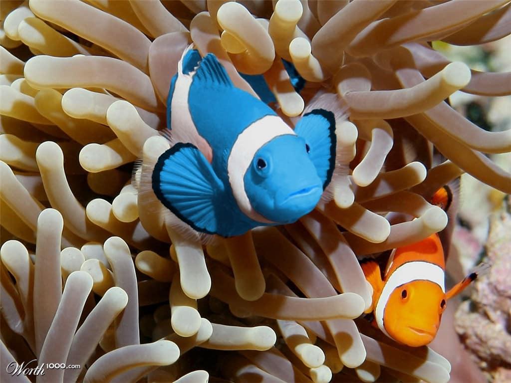 peixe palhaço Azul