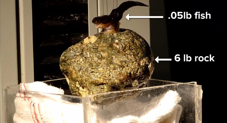 Peixe (Gobiesocidae) é alvo de estudos para medicina