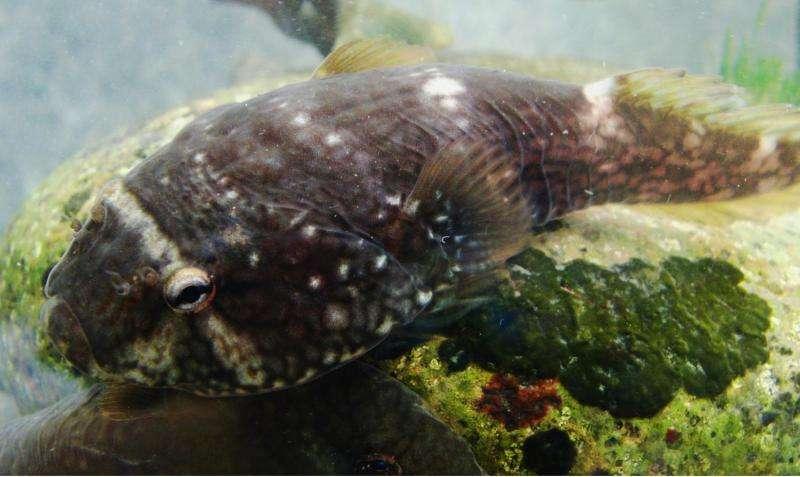 Peixe (clingfish) é alvo de estudos para médicina