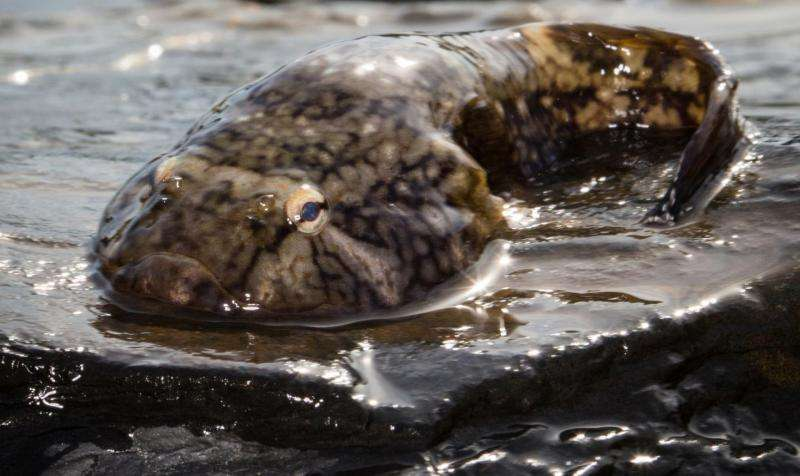 Puget Sound's clingfish could inspire better medical devices