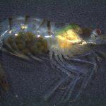 Potamalpheops tyrymembe • Potamalpheops tyrymembe: Uma espécie brasileira de camarão