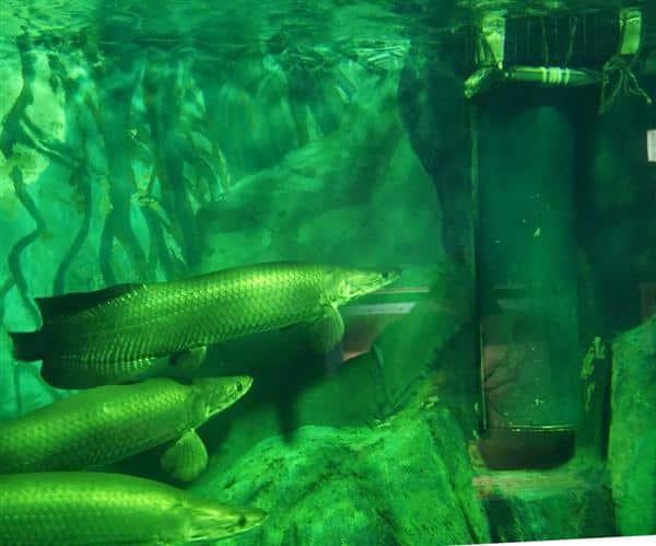 pirarucu em aquário