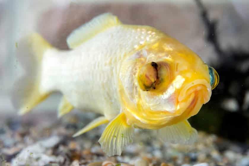 O peixe dourado Splash comemora 38 anos