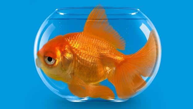 O peixe vai crescer de acordo com o tamanho do aquário