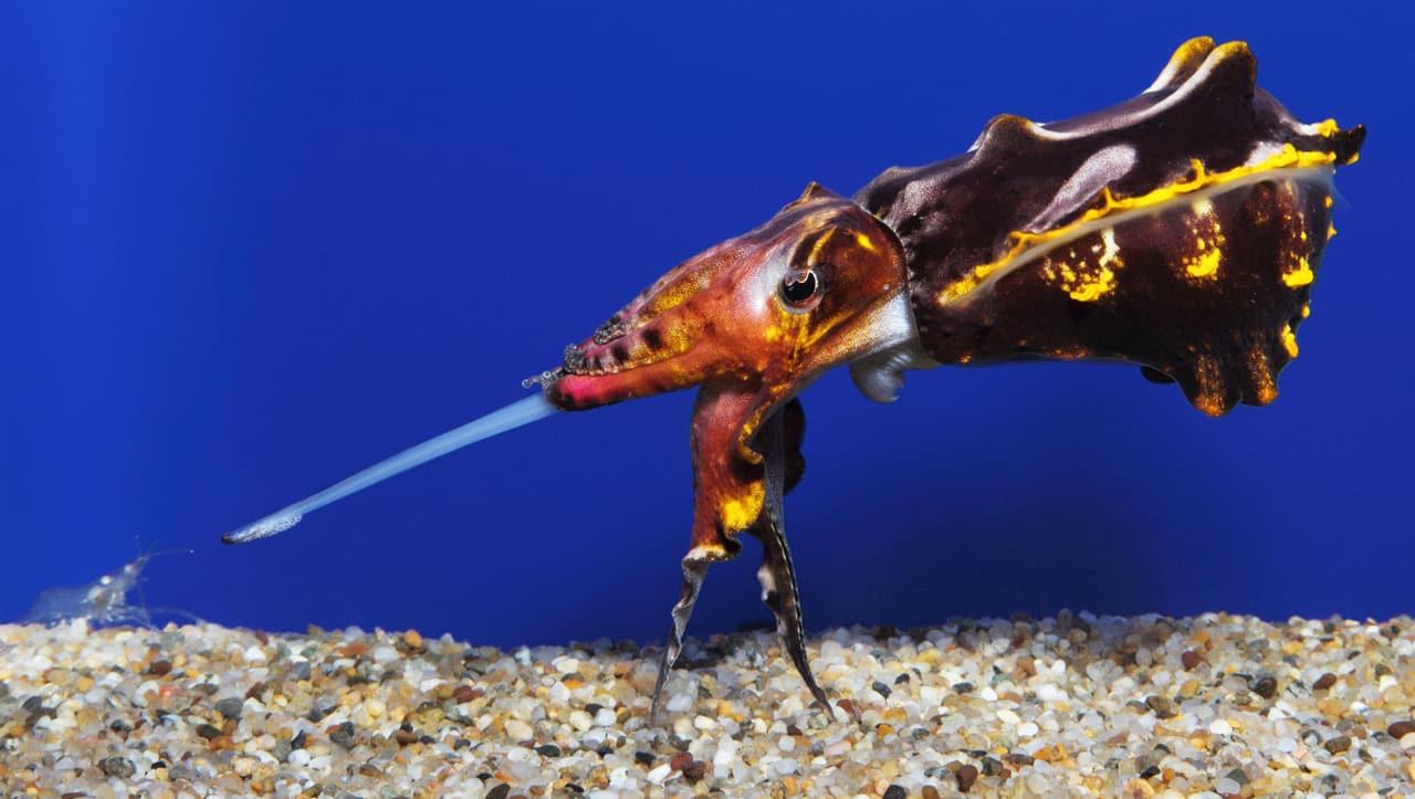 Flamboyant Cuttlefish no aquário comendo camarão