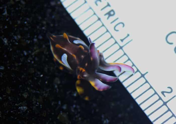 Flamboyant Cuttlefish pequeno