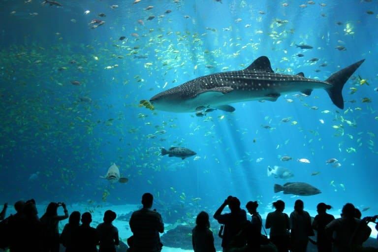 Tubarão-baleia macho no Georgia Aquarium