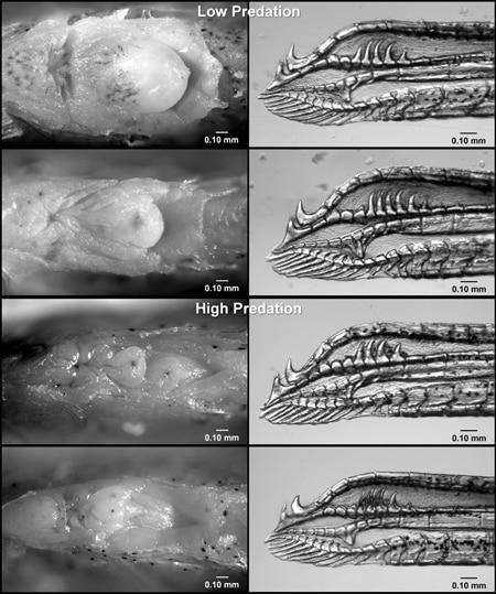 Genitais do peixe-mosquito fêmea