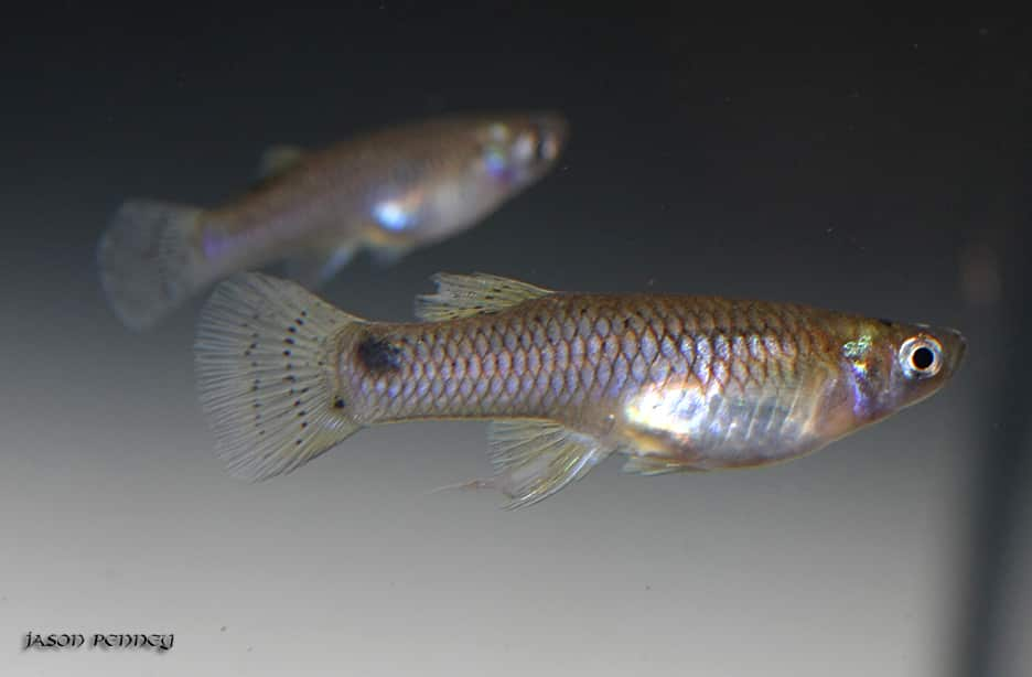 Peixe-mosquito (Gambusia affinis)