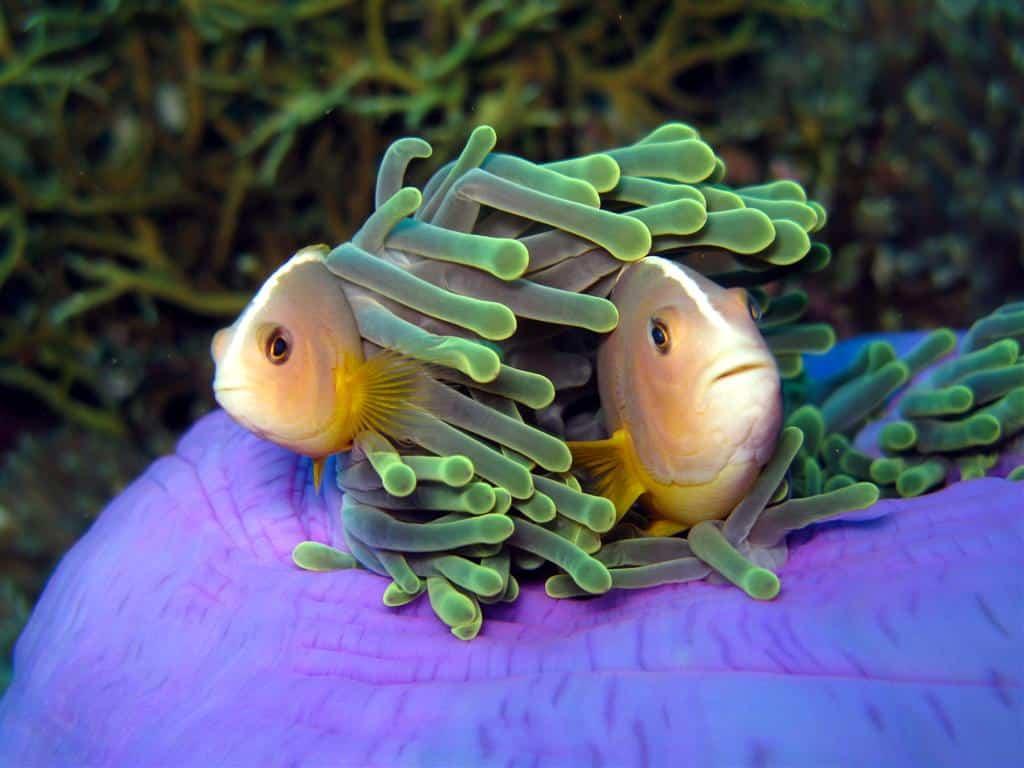 Amphiprion akallopisos - protândricas