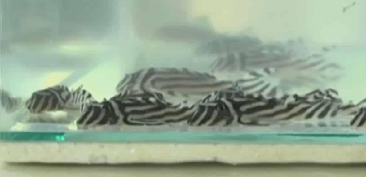 Cerca de 1148 cascudo zebra (Hypancistrus zebra) no aeroporto de Santarém
