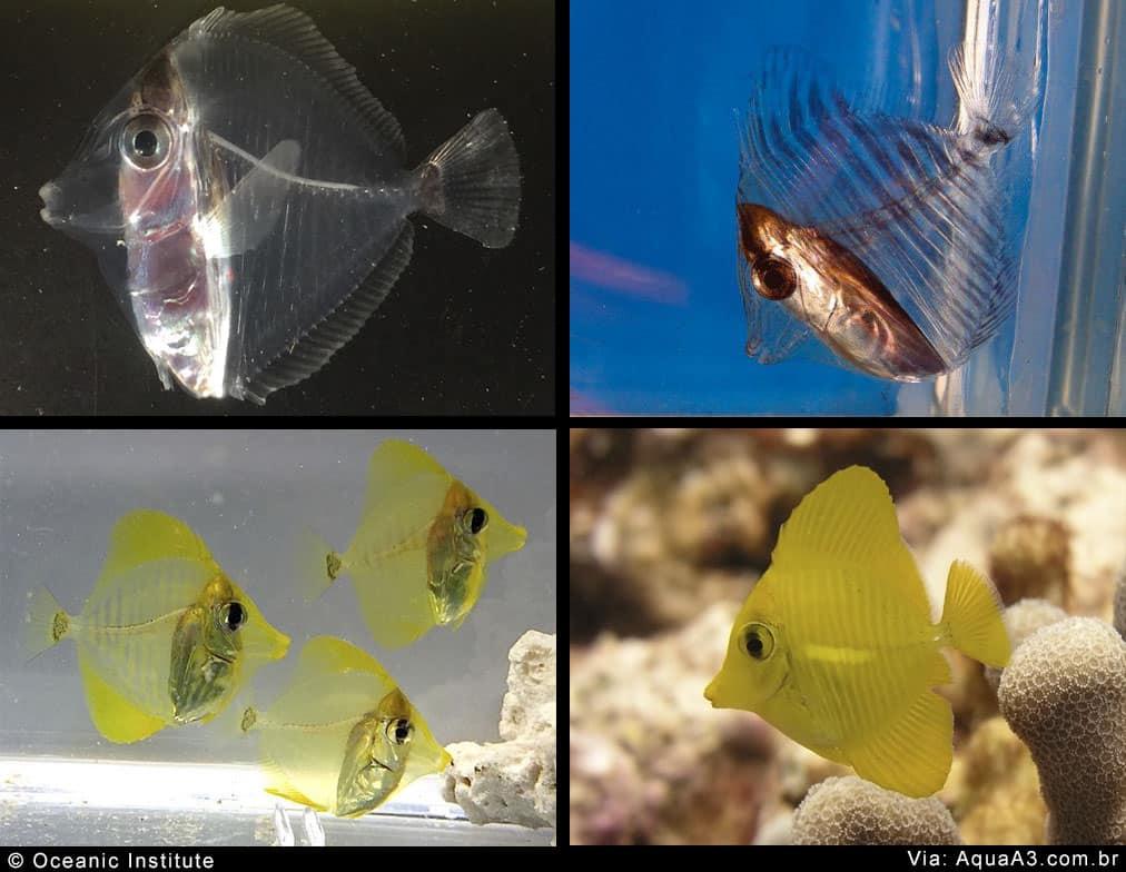 Evolução de crescimento do peixe Yellow Tang (Zebrasoma flavescens)