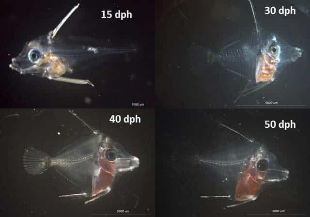 Evolução de crescimento do peixe Yellow Tang