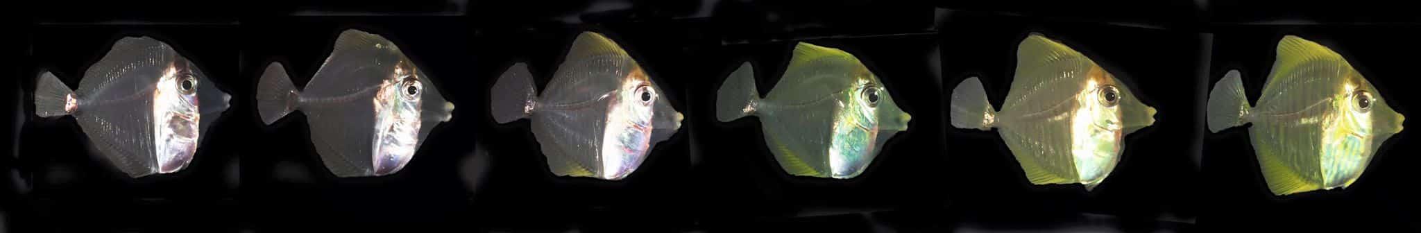 Evolução de crescimento do peixe cirurgião-amarelo