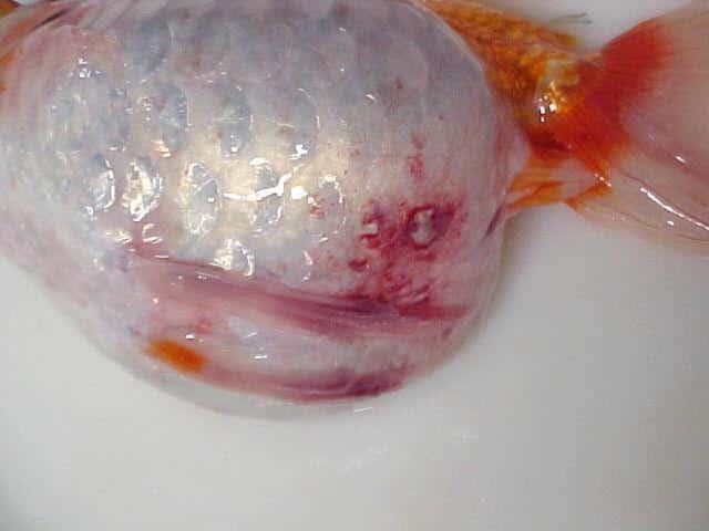 Peixe com Viremia Primaveril