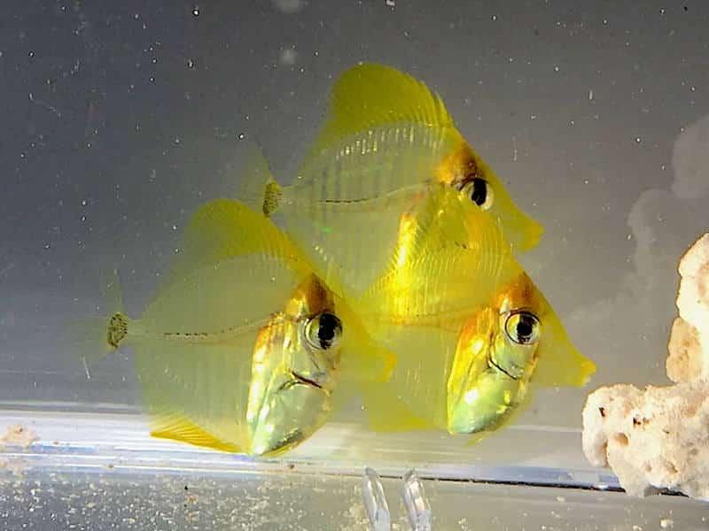 Yellow Tang finalmente reproduzido em cativeiro