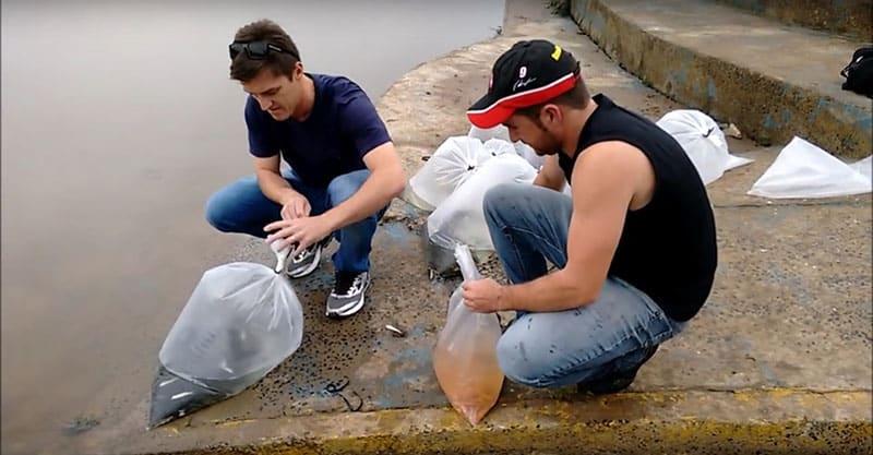 Amigos promovem a soltura de 1750 Carpas no rio Iguaçu