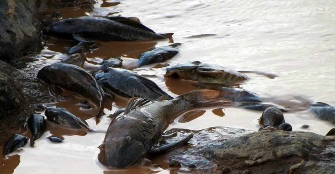 Peixes mortos no Rompimento da barragem em Mariana