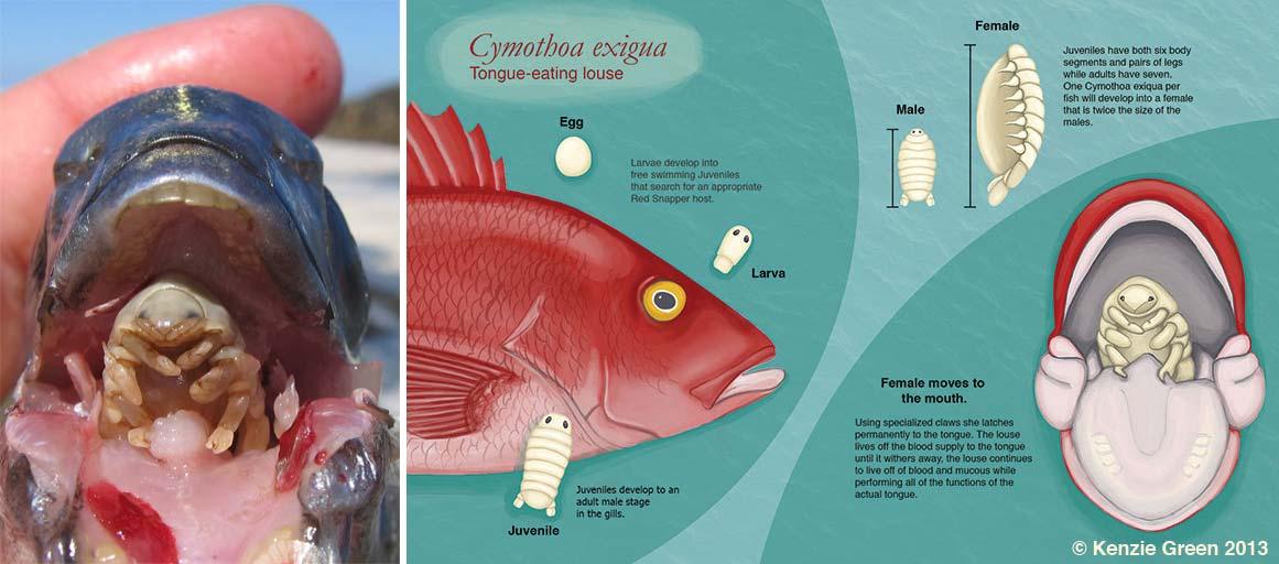 Ciclo de vida da Cymothoa exigua