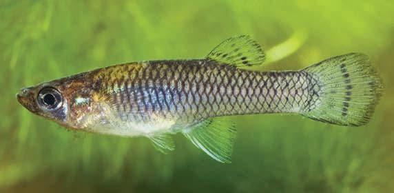 O peixe mosquito (Gambusia affinis) come larvas do Aedes aegypti.