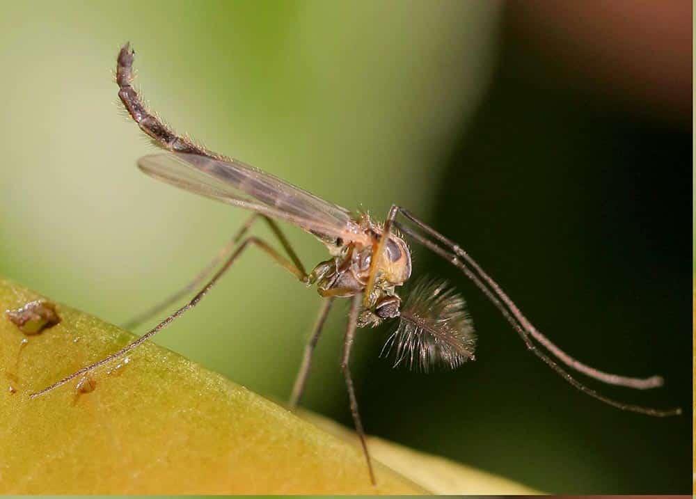 Mosquito Chironomus plumosus Bloodworms