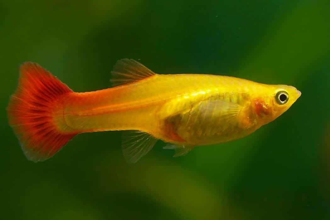 Peixe Poecilia reticulata (guppy) fêmea