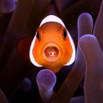Peixe com Cymothoa exigua • Cymothoa exigua: Parasita comedor de língua de peixe