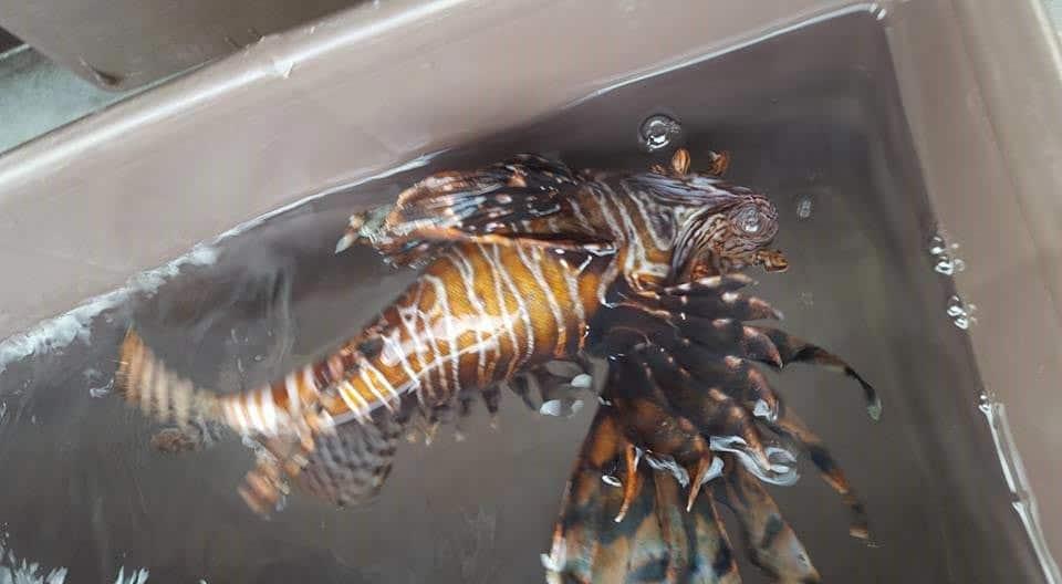 Sem-predadores-naturais,-Peixe-Leão-é-uma-ameaça-para-o-mar