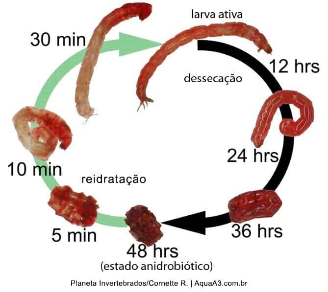 Reidratação das Bloodworms