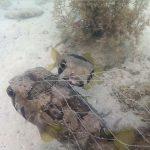 Baiacu preso em rede • Peixe Baiacu não abandona o seu companheiro
