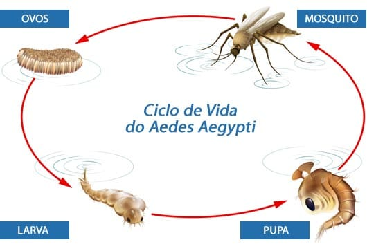 Ciclo de vida do mosquito Aedes aegypti