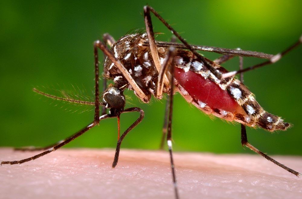 Mosquito Aedes aegypti picando ser humano