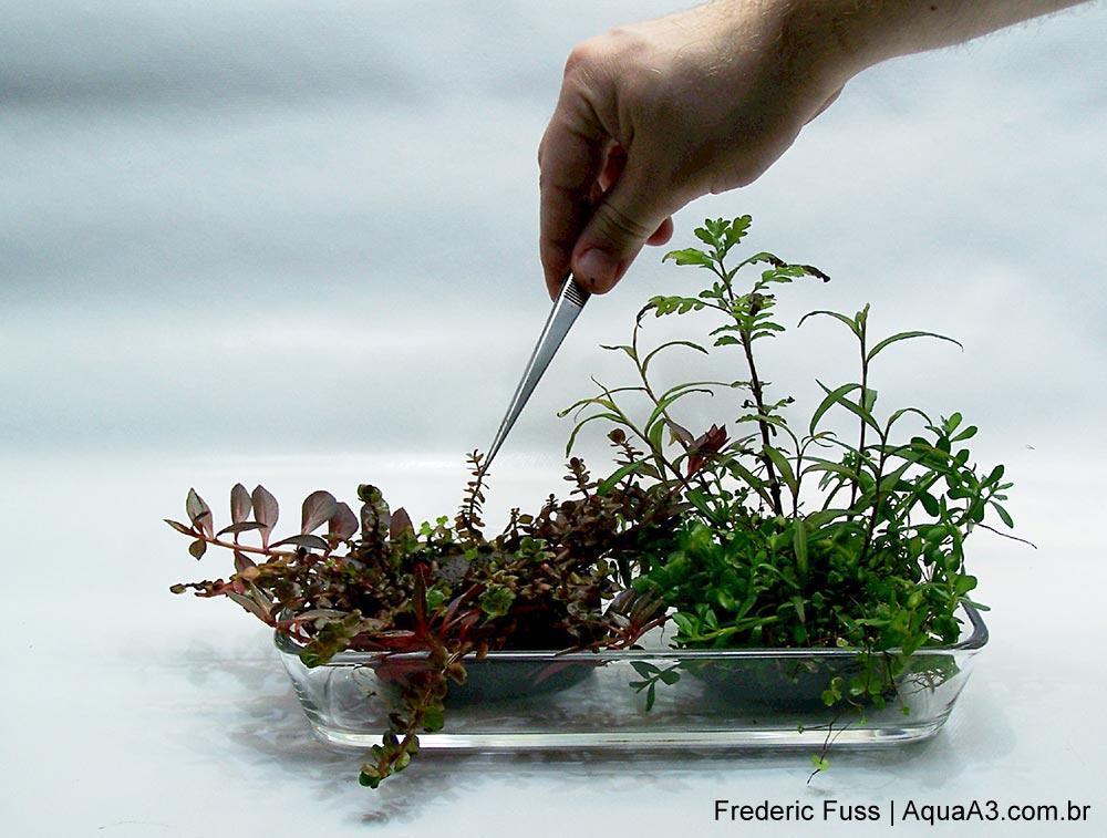 Plantando o Wabi-Kusa