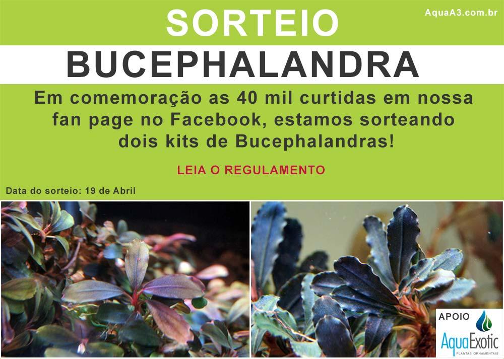 Sorteio Bucephalandras