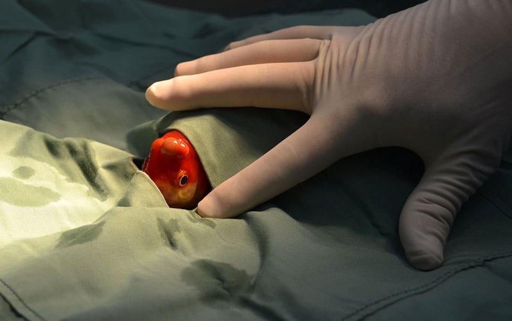 Peixe-dourado passa por cirurgia para retirada de tumor na Austrália