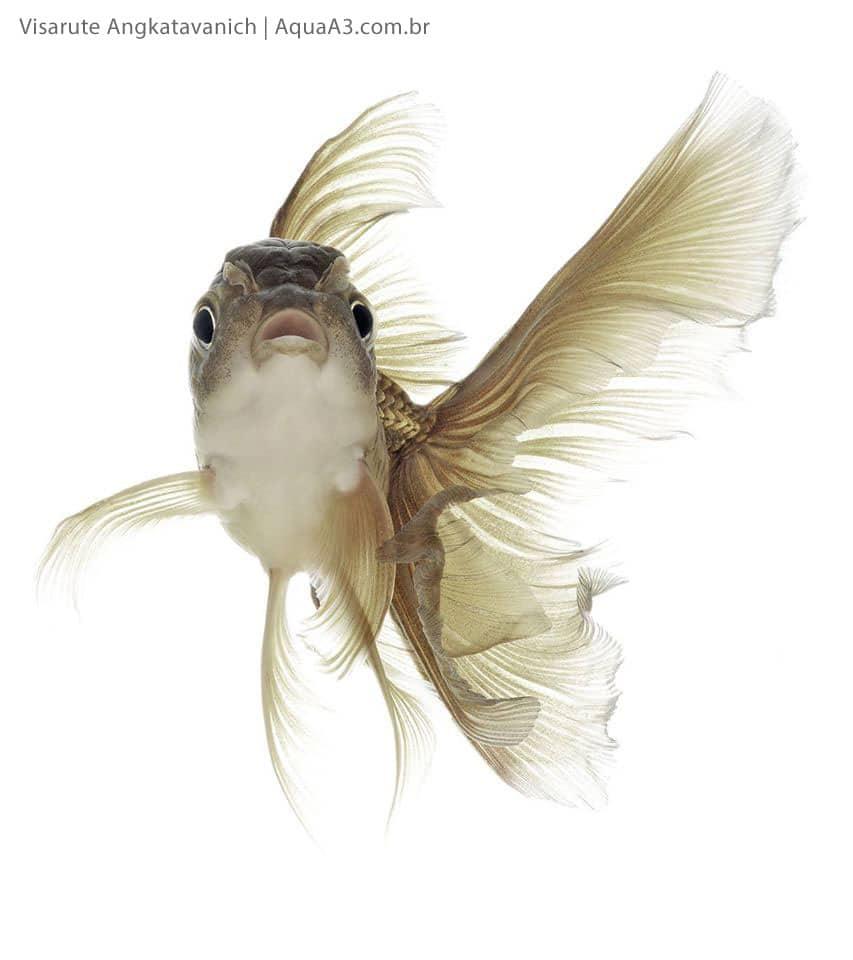 Peixe Kinguio frente