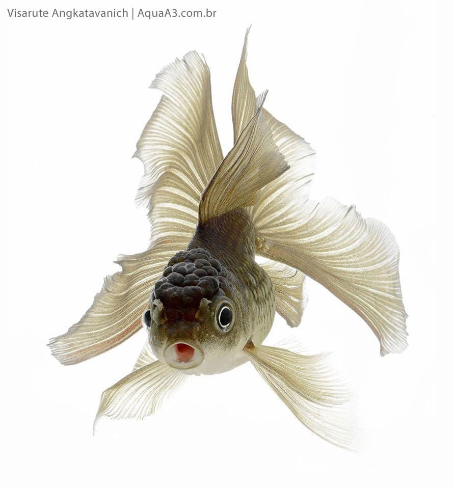 Peixe kinguio