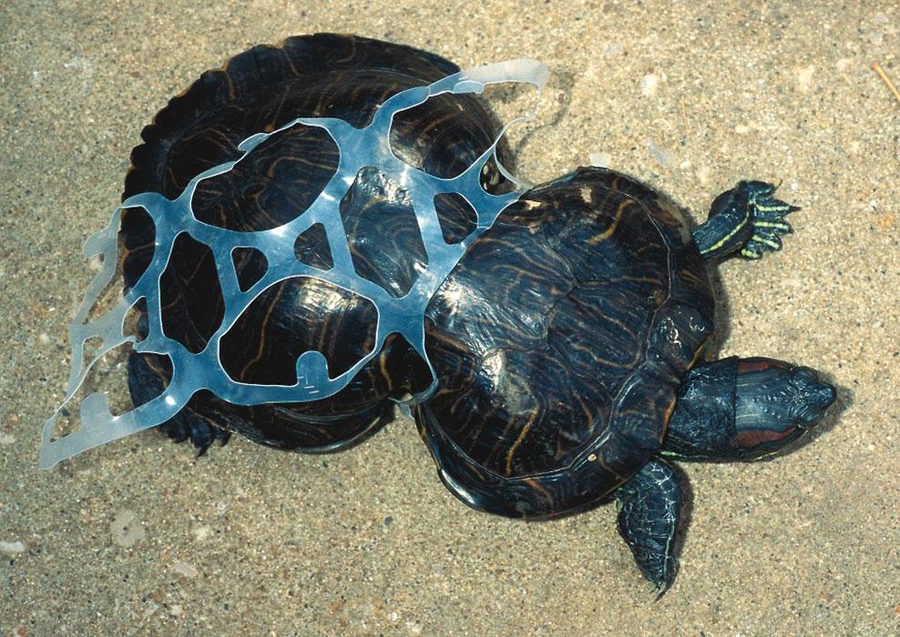 Tartaruga com embalagem six pack