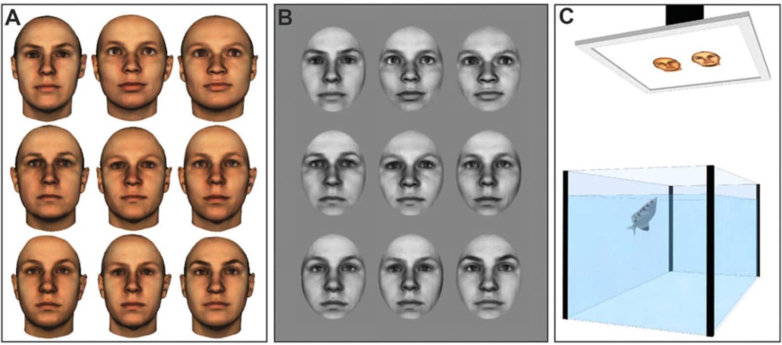 Experimento mostra que o peixe pode reconhecer rostos humanos